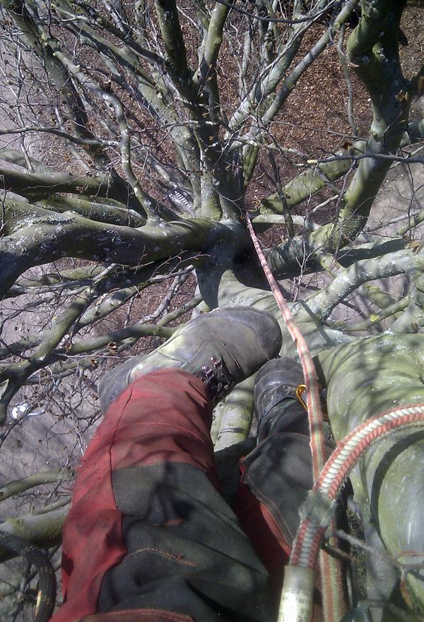 Beskärning Klättrande arborist. Vi klättrar gärna upp i dina träd. Med hjälp av klätterutrustning tar vi oss runt i trädet beskär på bästa möjliga sätt för trädet.